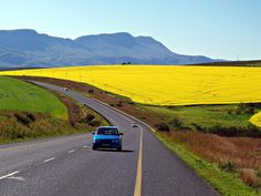 Along the Garden Route between Port Elizabeth and Cape Town with a canola field in the background, Western Cape, South Africa    Photo by Ryno Sauerman