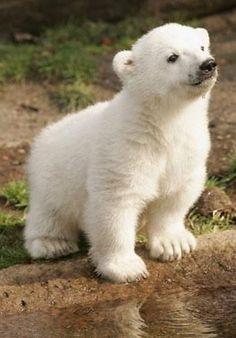 In pictures: Knut the polar bear - Tiere Bilder - Animals Wild Baby Animals Pictures, Cute Animal Pictures, Animals And Pets, Bear Pictures, Wild Life Animals, Baby Zoo Animals, Cute Animals Images, Baby Pandas, Baby Giraffes