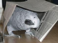 """#Africangrey #African #Grey Bobo my African Grey.  BirdSupplies.com repinned thinking that Bobo knows how to play """"peek a boo!"""""""