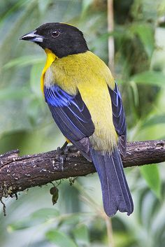 Black-chinned Mountain Tanager in EC