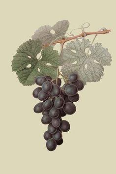 Raison de Carnes or Grape
