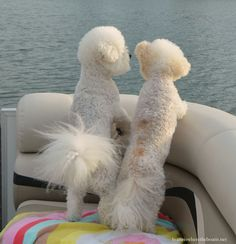 Chloe and Gracie on pontoon | homeiswheretheboatis.net #boatingwithdogs #BichonFrise