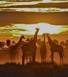 Giraffes at African sunset