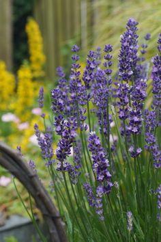 "L. angustifolia ""Big Time Blue"""