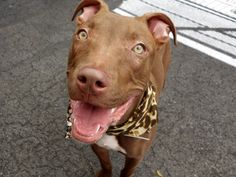 """TO BE DESTROYED 06/09/15 SANDI - 9 mth old female pit mix ~ A1036948 - Manhattan - Publicly Adoptable***PRECIOUS PUPPY ALERT - CODE RED!!! Volunteers say ; Dumped in high kill shelter because of """"no time"""". Lived in harmony w/ 5 kids & a cat! Considered to be loving & affectionate. Good w/ other dogs. House & crate trained. Sandi is looking for an active home as she needs exercise, structure and of course, lots of love. HOW BIG IS YOUR HEART?"""