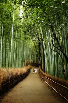 Bamboo forest--Japan