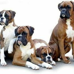 Details about BOXER Dogs Family (Uncropped) on One 16 inch Panel toSew.Actual Pic is x - Boxers ❤️ - Boxer And Baby, Boxer Love, Beautiful Dogs, Animals Beautiful, Beautiful Family, I Love Dogs, Cute Dogs, Awesome Dogs, Sweet Dogs