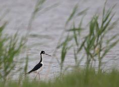 Black-necked Stilt, Quivira NWR, 5/22/17.