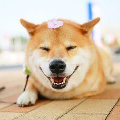 Instagramで大人気!柴犬「まる」のかわいい画像を集めたよ♪