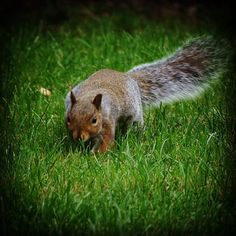 Looking for food! #squirrel #animal #wildlife #farm #gloucestershire #countryside