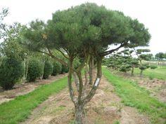 http://www.whitegatesfarm.com/gfx/specimen/Pine%20umbrella%20form.jpg