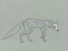 Alexis Demetriades Science Illustration: Quick Skeleton Study- Red Fox