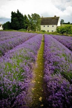 French farmhouse with lavender  fields by it.