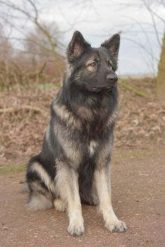 Shiloh Shepherd - from Dutch Pride Shilohs: http://www.dutchprideshilohs.com/dp-shilohs/index.php/nl/