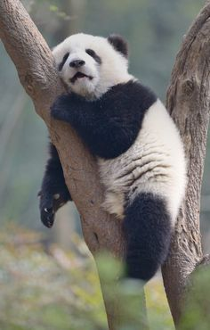 Cute Funny Animals, Cute Baby Animals, Animals And Pets, Baby Pandas, Giant Pandas, Wild Animals, Animal Pictures, Cute Pictures, Panda Facts