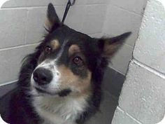 Albuquerque, NM - Australian Shepherd Mix. Meet KOA, a dog for adoption. http://www.adoptapet.com/pet/15948752-albuquerque-new-mexico-australian-shepherd-mix