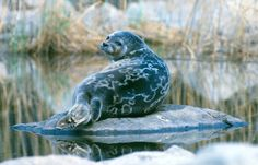 The world's most endangered seal can only be found in Lake Saimaa, Finland.