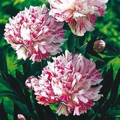 PEONY 'Kirinmaru' from Springhill Nurseries