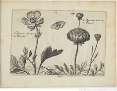 [Renoncule]; Hortus Floridus : in quo rariorum & minus vulgarium Florum icones ad vivam veramque formam / Crisp: Passei junioris, 1614