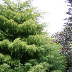 illinois state tree white oak 100 year old white oak photo bob