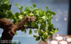Dettaglio pianta bonsai. carlocivera.org #piantabonsai #composizioni