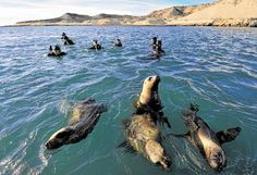 Puerto Madryn, Argentina. You can swim with sealions. Incredible experience, for your #bucketlist:) #beenthere