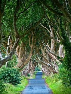 But this is something worth visiting, and it's right in the woods. These are the Dark Hedges in Northern Ireland.