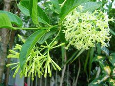 heavily perfumed shrubs - Google Search