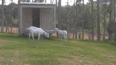 """HELLO TO OUR GOATS - When we first bought the Matakana Country Lodge, we got 2 goats as gifts. Long story, but we ended up selling the goats. During the Fruitloop Walk, we got to see them and say """"Hi!"""" They have grown big! More about the best of Matakana... http://www.matakanacountry.co.nz/markets-lodging-accommodations-auckland-coast-wine-country-hotels/the-best-of-matakana-things-to-do-in-matakana-nz-auckland-wine-region-area-attractions/ #matakana #newzealand #holiday"""