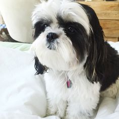 "40.7k Likes, 457 Comments - Chloe Mae (@itsmechloemae) on Instagram: ""Bed head #Malshi #puppy"""
