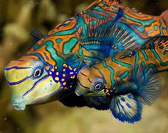 "Curiosity ""Saltwater Fish Pictures"" A pair of mandarinfish swim close together prior to spawning. Mandarinfish are reef-dwellers native to the Pacific Ocean. Tim Laman/Getty Images"