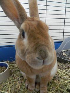 This is my cute Mini-Rex rabbit! :)
