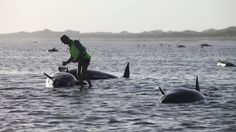 "WELLINGTON, New Zealand - ""About 140 pilot whales that stranded themselves on a remote stretch of New Zealand beach have died, but conservation workers and volunteers are hoping the remaining 60 or so will survive after they managed to get them refloated, an official said Saturday."""
