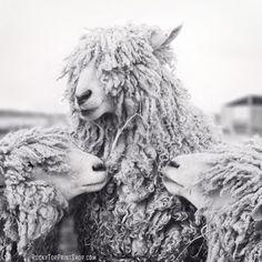 Sheep Art, Animal Photography, Sheep Photograph, Animal Art Print, Black & White Photography Wall Art, Wall Decor Fine Art Photography Print. $25.00, via Etsy.