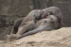 Sweet dreams - baby elephant taking a rest on top of his mum by ollie Wild Animals Pictures, Elephant Pictures, Cute Animal Pictures, All About Elephants, Save The Elephants, Baby Elephants, Asian Elephant, Elephant Love, Majestic Animals