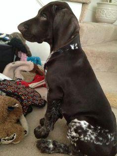 German Shorthaired Pointer Dog Breed Information Gsp Puppies, Pointer Puppies, Pointer Dog, Cute Puppies, Cute Dogs, I Love Dogs, Big Dogs, German Shorthaired Pointer, Alaskan Klee Kai