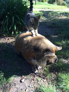 Limpet loves riding - even the pig will do!
