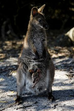 Bennets Wallaby with Young I, Friendly Beaches, East Coast, Tasmania.