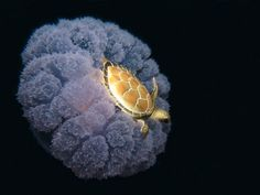 Turtle riding on the jellyfish