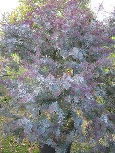 Acacia foliage has a pretty silver green tone, with touches of purple during the fall. Pretty accent green for centerpieces Acacia Baileyana, African Plants, Australian Native Garden, Gravel Garden, Perfect Plants, Unique Plants, Desert Plants, Garden Pictures, Landscape Plans