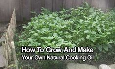 How To Grow And Make Your Own Cooking Oil - This is a great way to become more self sufficient and save money all at the same time. At least you know making it yourself there will be no additives and chemicals in the oil.