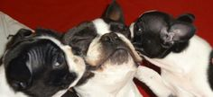 Boston Terrier Puppies Kissing their Father! ► https://www.facebook.com/bterrierdogs  - #cute #FathersDay