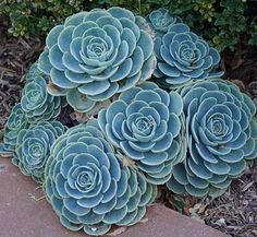 Echeveria imbricata | Echeveria glaucometallica | Echeveria x imbricata | Hens and Chicks
