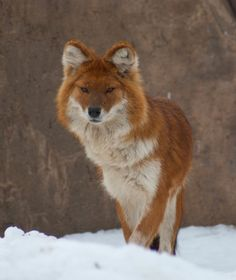 "The dhole (pronounced ""dole"") is also known as the whistling dog, red dog and Asiatic wild dog. An excellent jumper, it has a vertical jump of 7 feet. The dhole resembles a fox in its appearance, but it is roughly the size of a German Shepherd. It is also capable of making a variety of sounds, including whistling, screaming, mewing and even clucking."
