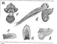 Trichoglottis lobifera