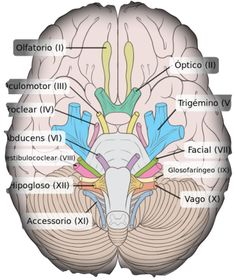 Los pares craneales son doce y se encuentran en el encéfalo. Reciben el nombre de par craneal porque se cuenta con uno en el hemisferio derecho y con otro en el hemisferio izquierdo. Hay nervios craneales sensitivos, otros motores y otros mixtos, que cumplen funciones tanto sensitivas como motoras. Carlson, N.R. (2006) Fisiología de la conducta. (8a Ed.) España: Pearson Educación