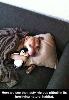 Cuidado con los Pitbull, son perros muy peligrosos como se ve en la imagen