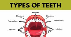 Teeth Names Human Mouth, Visual Dictionary, Name Pictures, Wisdom Teeth, Best Oral, First Tooth, Healthy Teeth, Oral Hygiene, Cavities