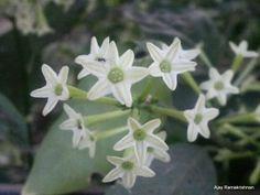 Cestrum Nocturnum, Night Blooming Jasmine