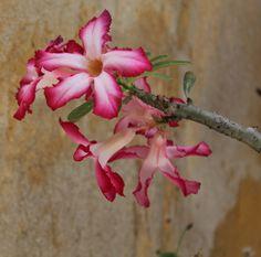 Curacao flower © Julia Ruijter